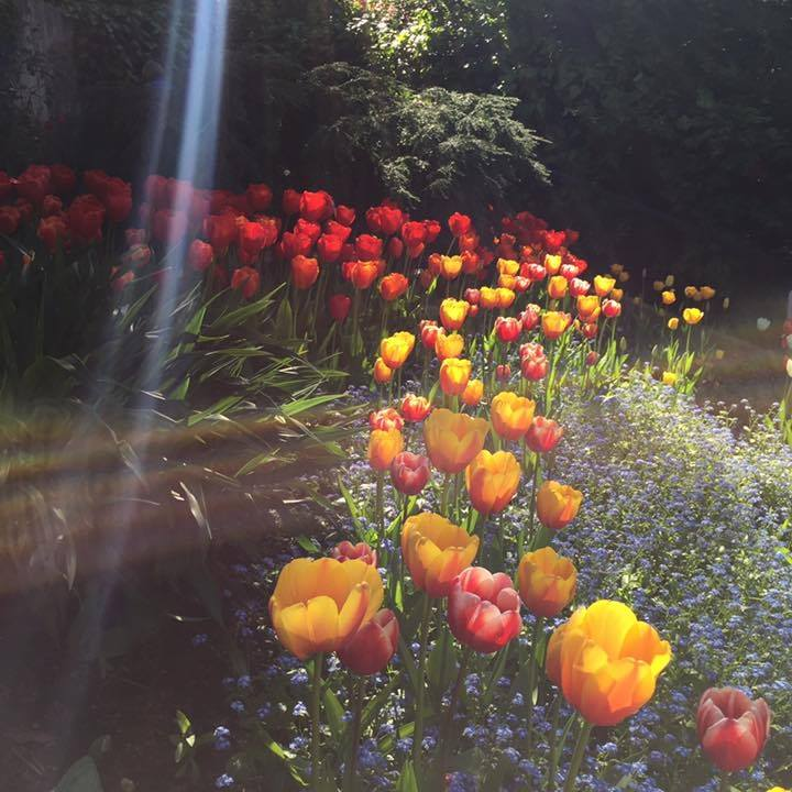 tulips with light streaming
